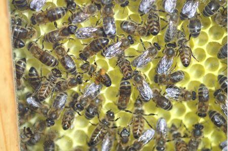 Bild für Kategorie Weiterbildung naturnahe Bienenhaltung